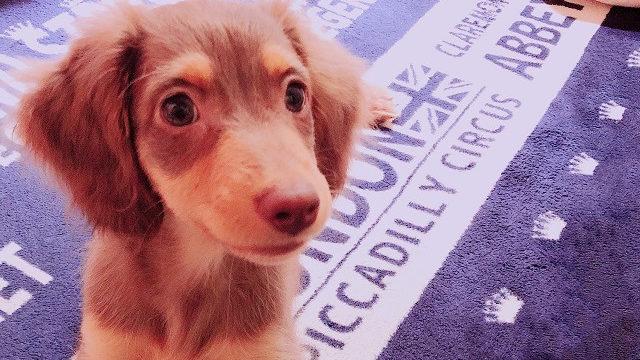 DogHuggyに預けた犬
